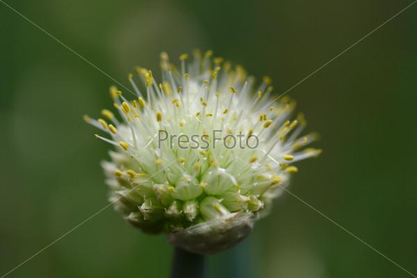 Свежий цветок чеснока