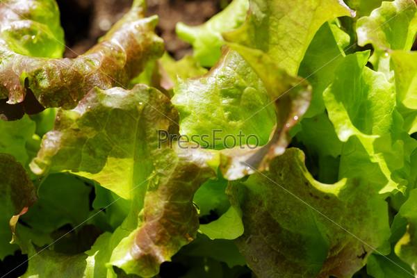 Фотография на тему Зеленый салат на грядке