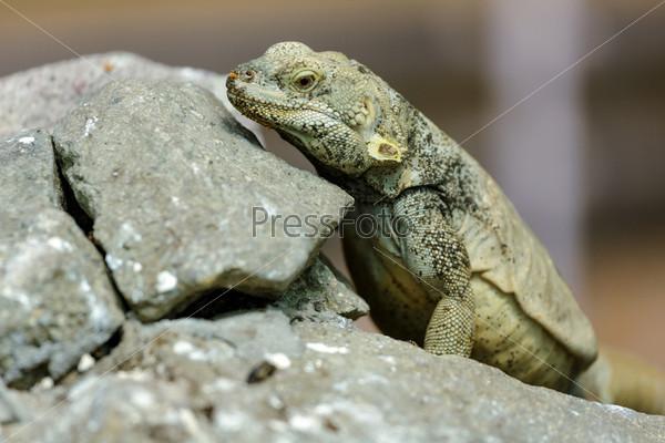 Ящерица на камнях