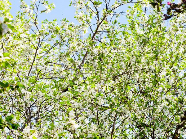 Белое цветущее дерево