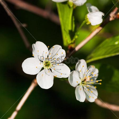 Белые цветы дерева