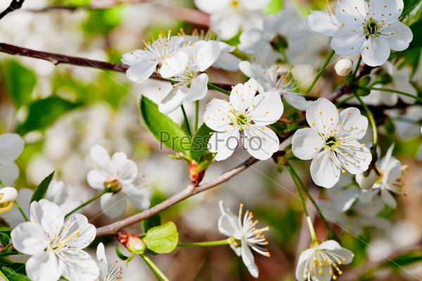Фотография на тему Белые цветы на ветке вишни весной