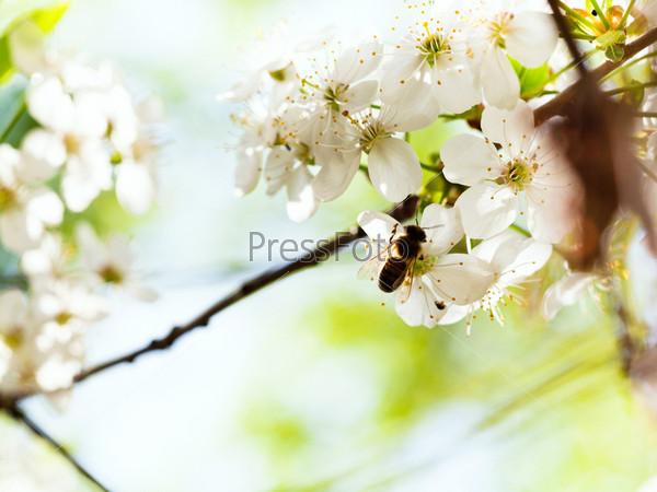 Пчела и весенние белые цветы