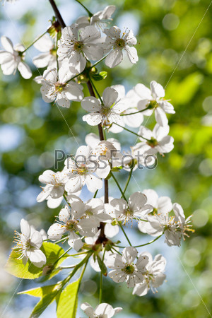 Фотография на тему Белые цветы на ветке дерева весной