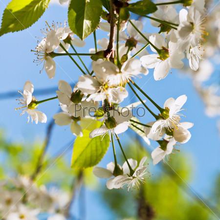 Белые цветы на ветке дерева весной