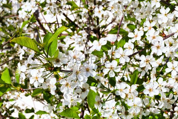 Белые цветы на ветке вишни весной