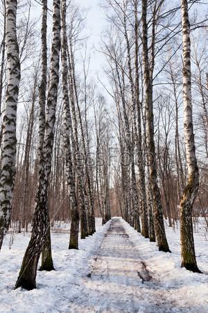 Замерзшая аллея в березовом лесу