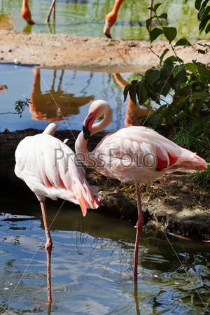 Болотные птицы - фламинго