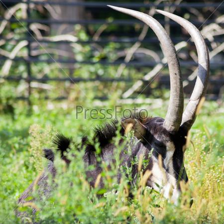 Антилопа лежит в зеленой траве