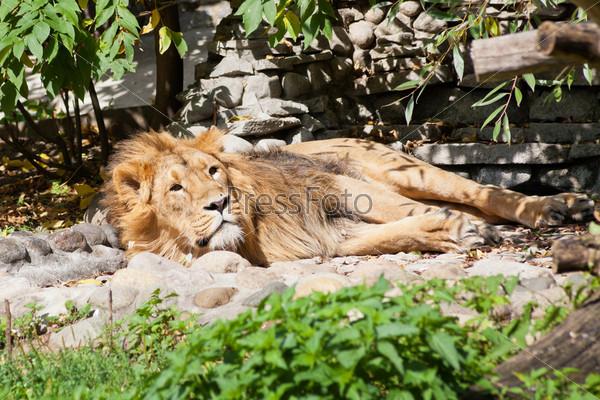 Фотография на тему Азиатский лев