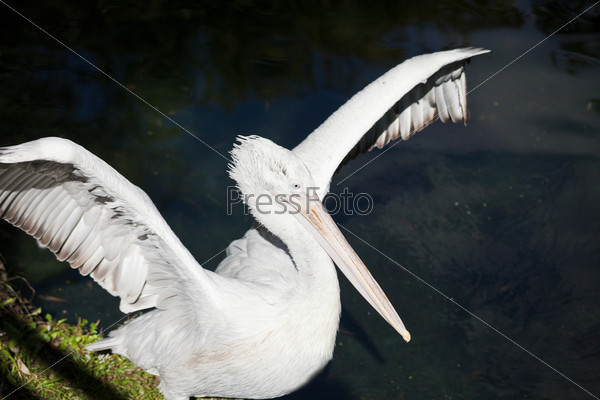 Пеликан расправил крылья
