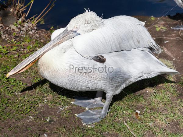 Спящий кудрявый пеликан