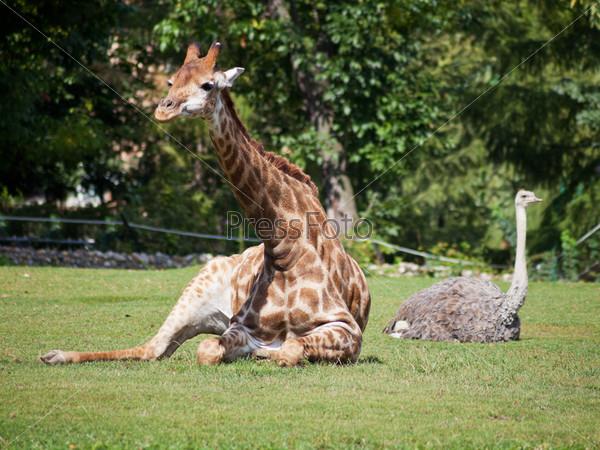 Фотография на тему Жираф и страус лежат на зеленой лужайке