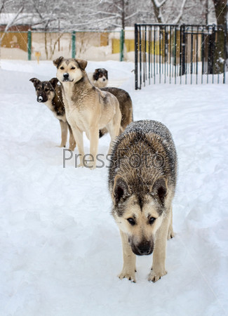 Фотография на тему Стая бездомных собак зимой