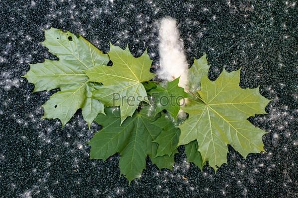 Кленовые листья и тополиный пух