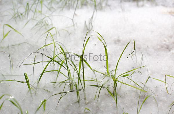 Фотография на тему Трава в тополином пуху