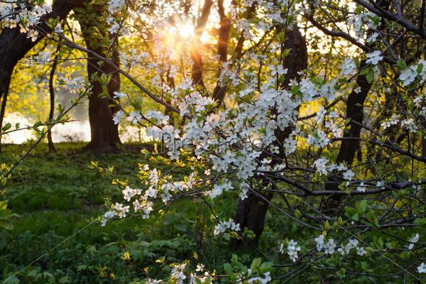 Весенний фруктовый сад - цветущие яблони на закате