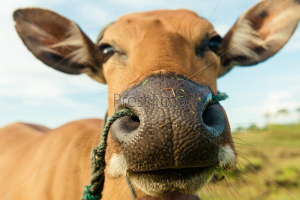 Фотография на тему Симпатичная корова крупным планом