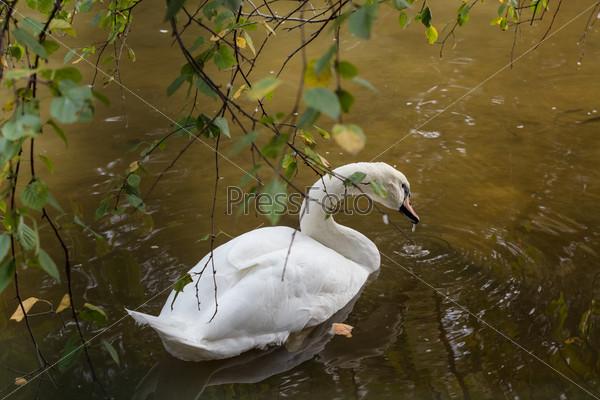Фотография на тему Белый лебедь