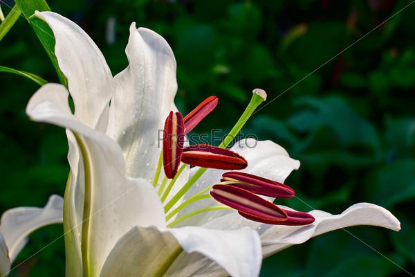 Фотография на тему Белая лилия крупным планом