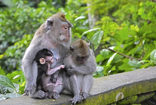 Семья обезьян на Бали