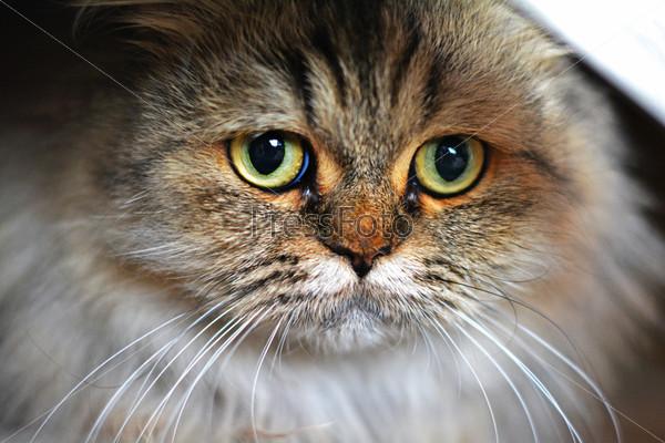 Кошка породы сибирский шиншилл золотой окраски