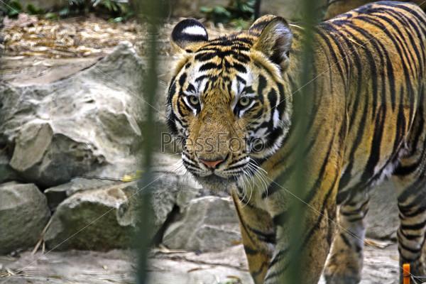 Балийский зоопарк. Тигр