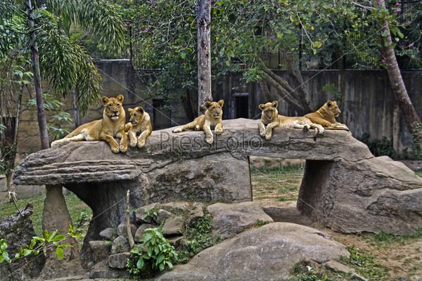 Семейство тигров