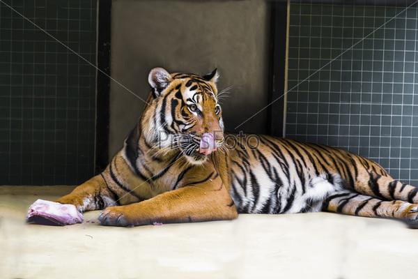 Тигр, лежащий на полу