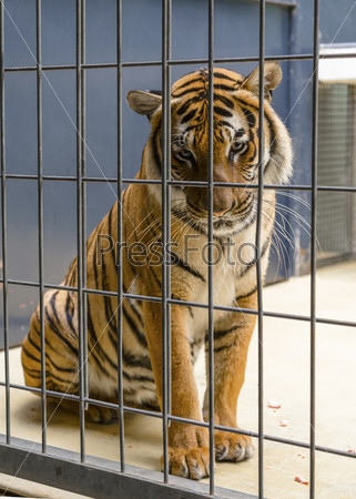 Тигр в клетке. Берлинский зоопарк