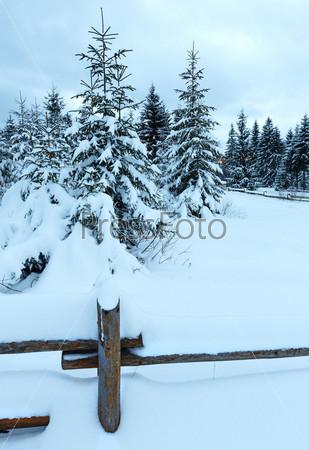 Пасмурный день в зимнем еловом лесу