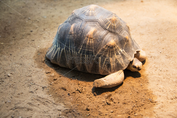 Фотография на тему Черепаха медленно идет по песку