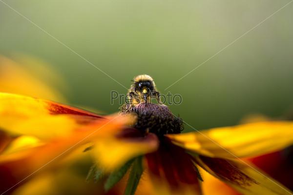 Фотография на тему Шмель собирает пыльцу с цветка