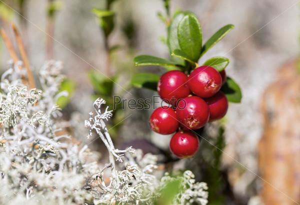 Спелая брусника и мох