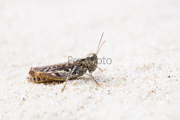 Кузнечик цвета земли на песке