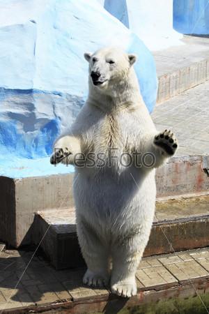 Полярный медведь стоит на задних лапах