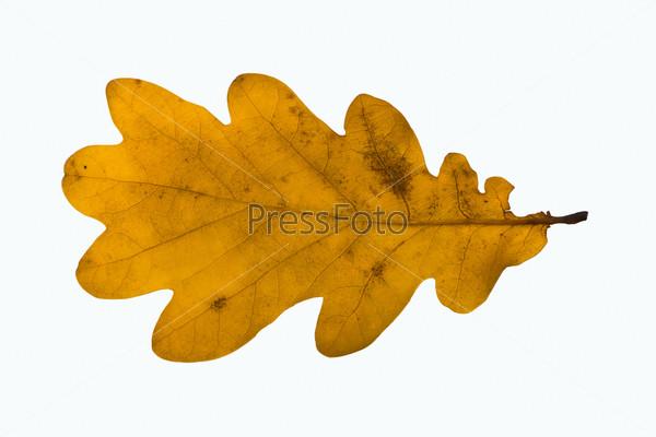 Фотография на тему Желтый лист дуба
