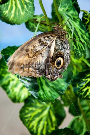 Фотография на тему Бабочка Калиго