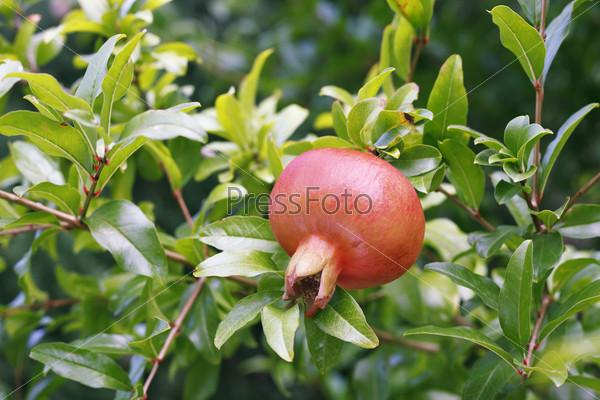 Спелый гранат на ветке дерева