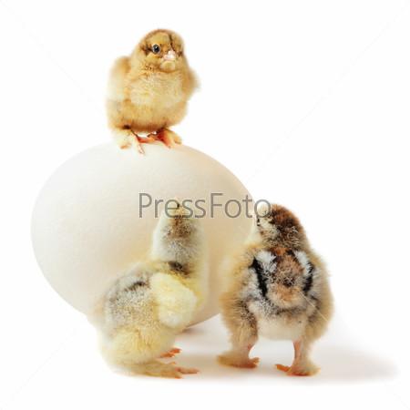Фотография на тему Три цыпленка и страусиное яйцо