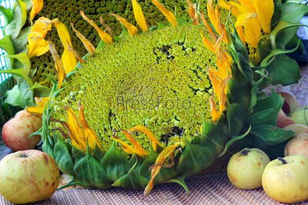 Фотография на тему Сорванные цветы подсолнухов и яблоки на столе