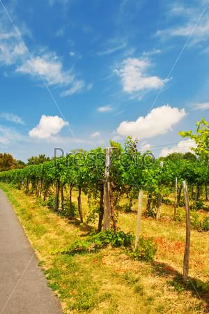 Фотография на тему Виноградник в Вене