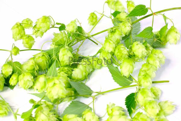 Хмель, ингредиент для приготовления пива