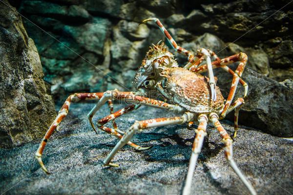 Фотография на тему Японский краб-паук, macrocheira kaempferi