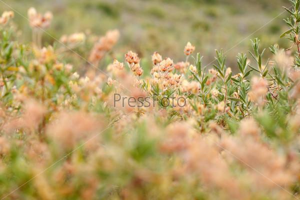 Фотография на тему Желтые цветы на поле. Прованс