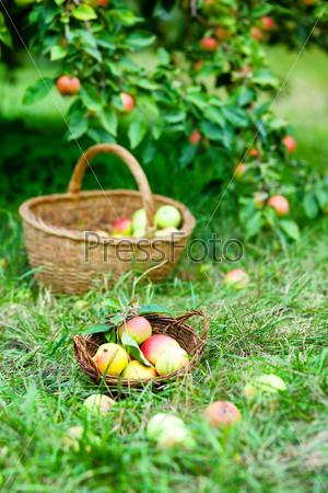 Яблоки в корзинах
