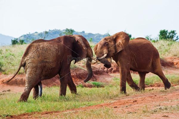 Фотография на тему Битва слонов