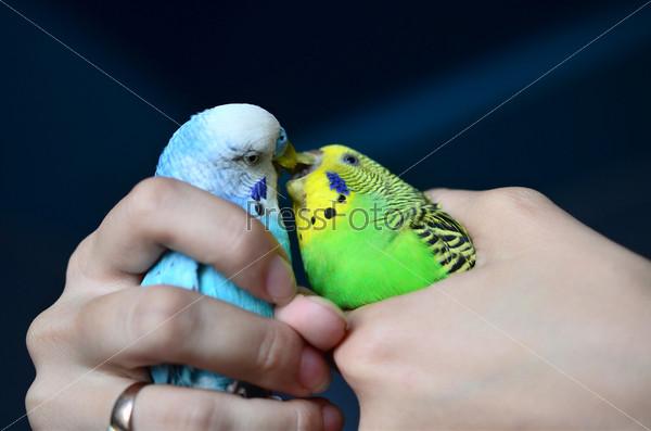 Фотография на тему Волнистые попугайчики целуются в женских руках