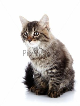 Фотография на тему Полосатый пушистый котенок сидит на белом фоне