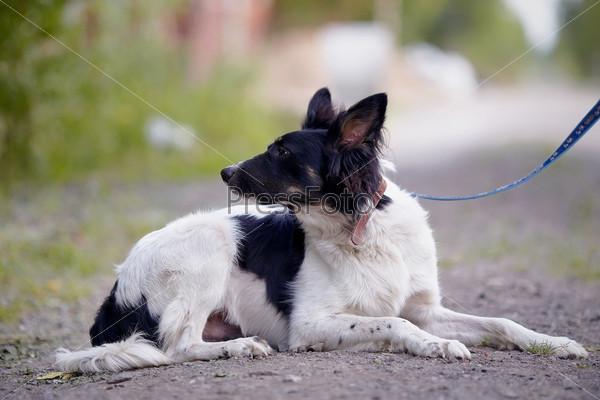 Черно-белая собака лежит на земле